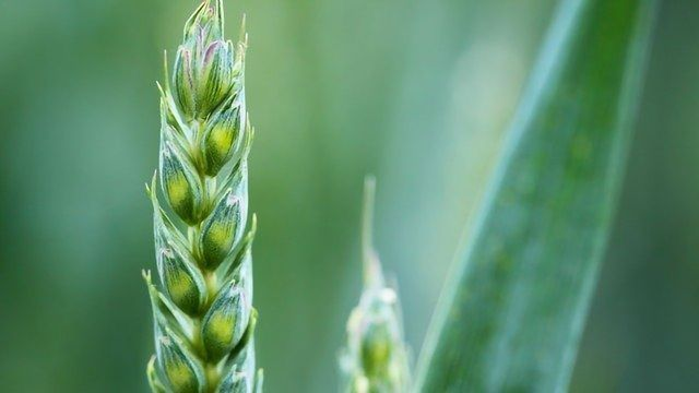 Crop Pathogens' Adaptability See Them Flourish in Changing Climate