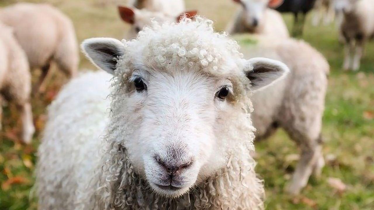 Sedated Sheep Show How Ketamine Reboots the Brain