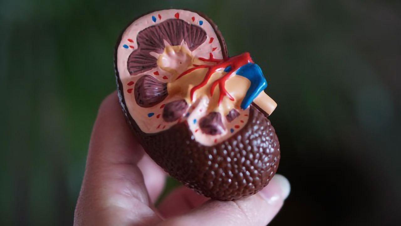 Blocking Brain-Kidney Signaling Could Help Treat Organ Failure