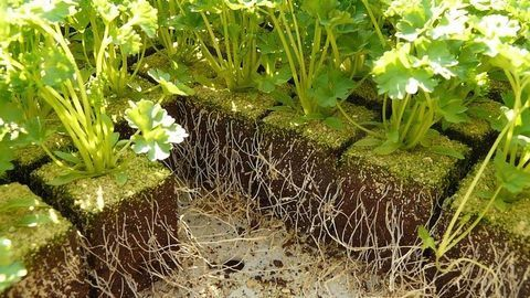 The Overlooked Role of Bacteriophage in Plant Health
