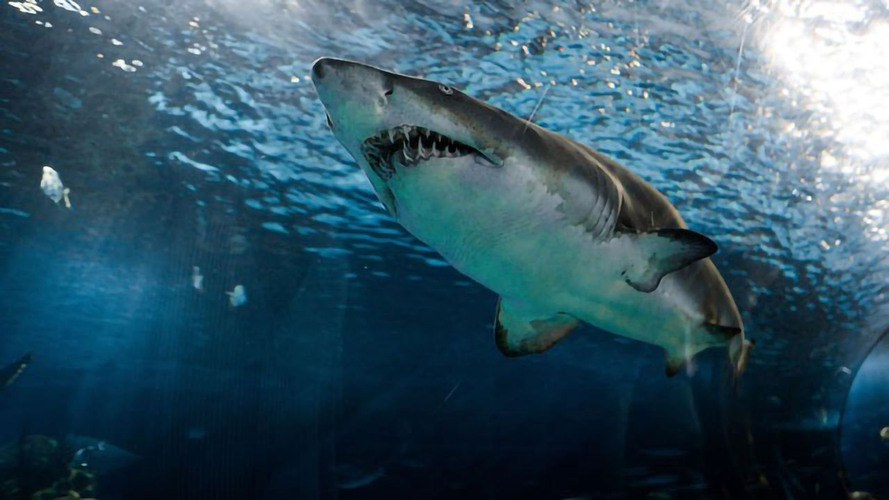 Scientists Surprised by Great White Shark's Dining Habits