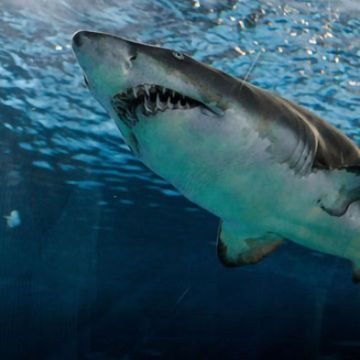 Scientists Surprised By Great White Shark S Dining Habits Technology Networks