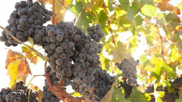 Uncovering the Genetic Basis of Hermaphroditism in Grapes