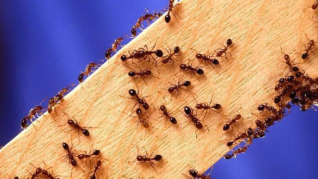 Meat Allergy Spread Limited by Fire Ants... but at a Price