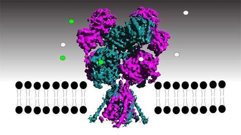 Atom-level Analysis of the NMDA Receptor Shows Neuronal Gatekeeper in Action