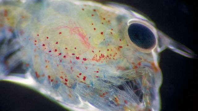 Lobster Larvae Harmed by Microplastics at All Stages of Life