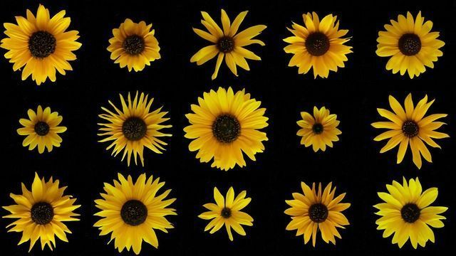 "Sunflowers, ""Supergenes"" and Evolution"