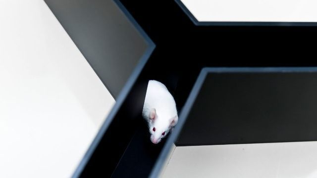 A Memory Game for Mice Could Help Understand Brain Injury