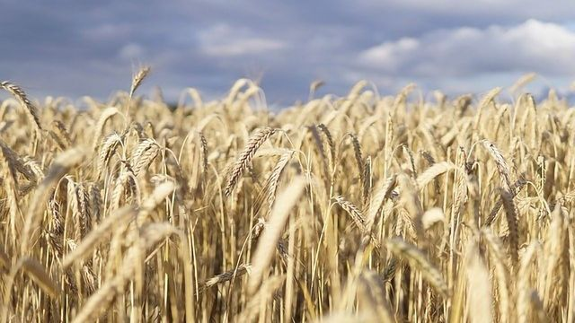 Testing Confirms Efficacy of Amoeba's Biocontrol Solution for Major Wheat Diseases