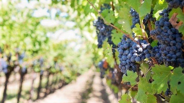 Wine Savior: Genome of Vineyard's Worst Enemy Mapped