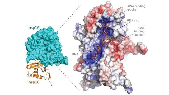 Team Sheds Light on SARS-CoV-2 Protein Structures Suitable for Design of New Drugs