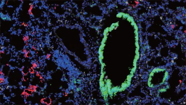 Two Is Better Than One For Novel COVID-19 Mouse Model