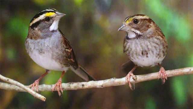 A Single Gene Drives Aggression in Wild Songbird