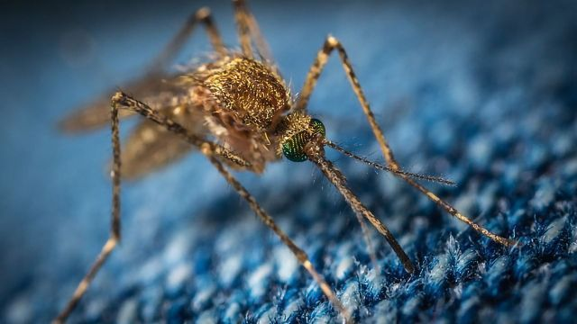 Application To Release 750 Million Genetically Engineered Mosquitoes Approved