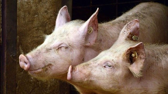 Pigs Grow New Liver in Lymph Nodes, Study Shows