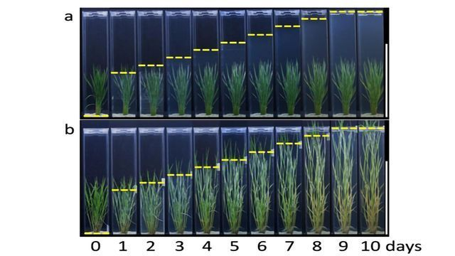 Antagonistic Genes Help Regulate Rice Plant Stem Growth