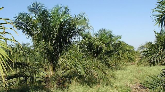 80% of Indonesian Rainforest Vulnerable to Palm Oil Destruction Is Unprotected