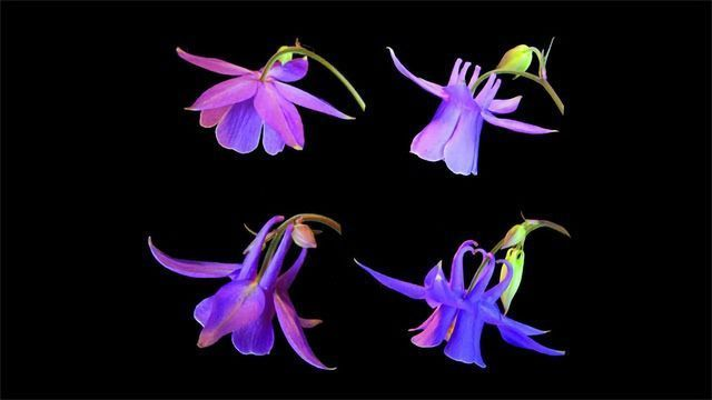 Gene Controlling Nectar Spur Development Is Identified