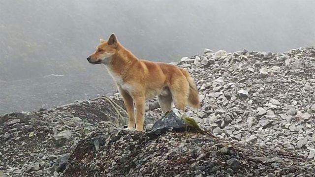 What Can an Ancient Dog Genome Teach Us About Human Vocalization?