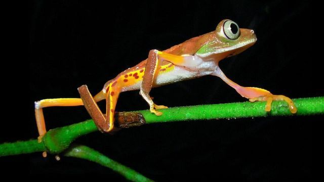 """""""Extinct"""" Frogs Rediscovered Thanks to Environmental DNA Analysis"""