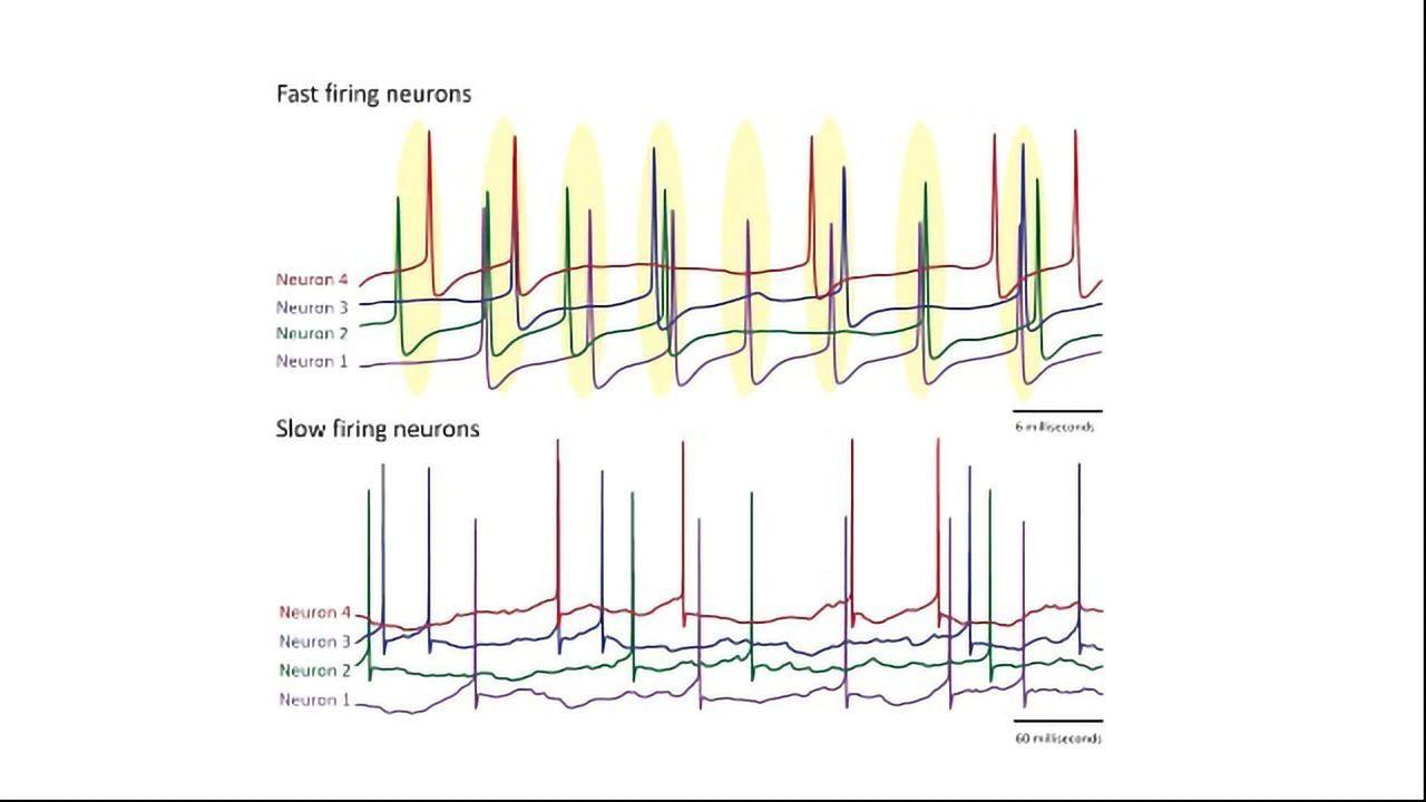 Fast-Firing Neurons Show Superior Synchronization