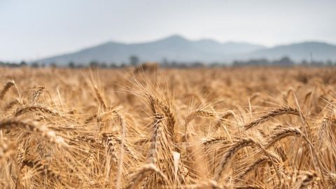Massive-Scale Genomic Study Explores Diversity and Desirable Traits in Wheat