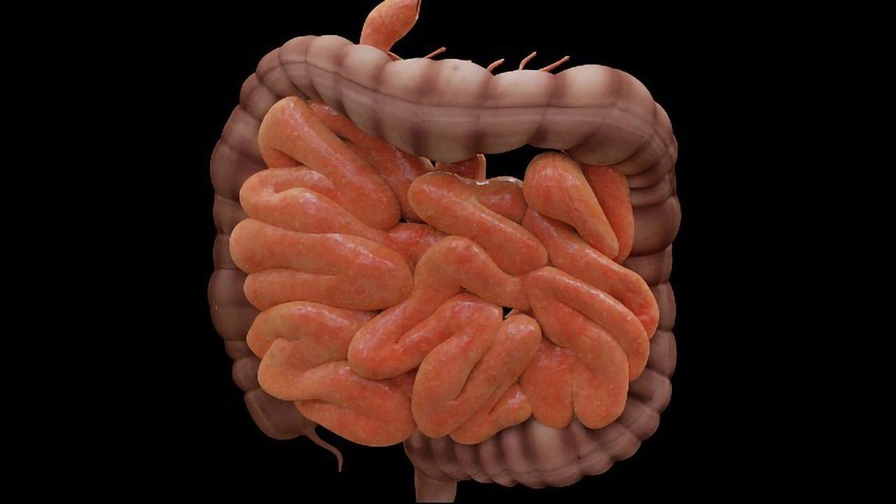 Intestinal Organoids Grow and Function Like Real Tissues