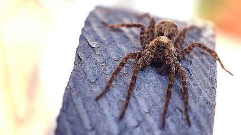 How Giant Spider Venom Might Help Sufferers of Irritable Bowel Syndrome