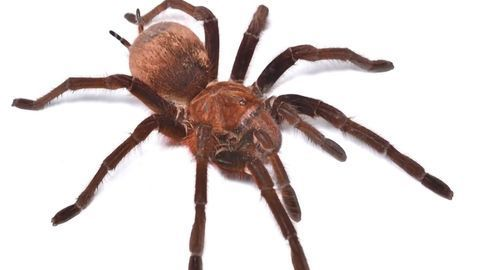 Giant Spider Provides Promise of Pain Relief for Irritable Bowel Syndrome