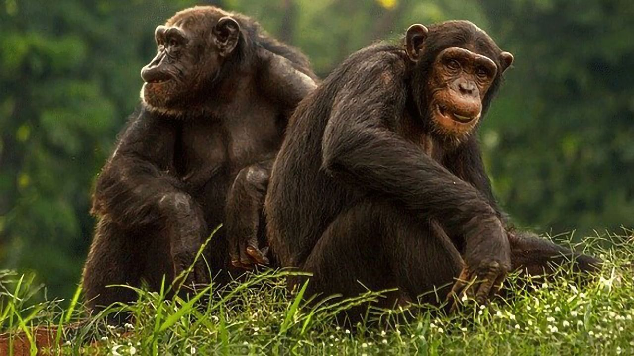 Like Humans, Aging Chimpanzees Value Friendship and Company