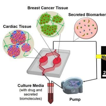 Heart–Breast Cancer-on-a-Chip Developed To Monitor Cardiac Toxicity Arising From Chemo