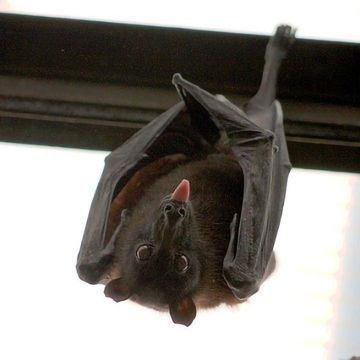 Why Do Bats Excel as Viral Reservoirs and Don't Get Sick?