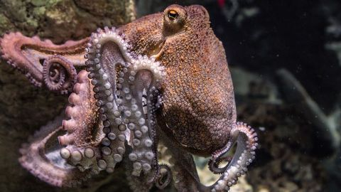 Touch and Taste? It's All in The Octopus Tentacles