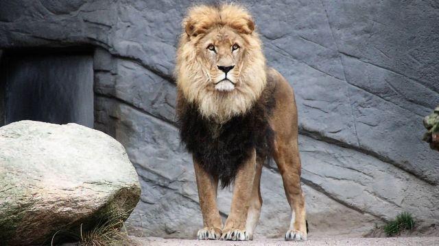 Lion DNA Study Uncovers Impact of Habitat Fragmentation