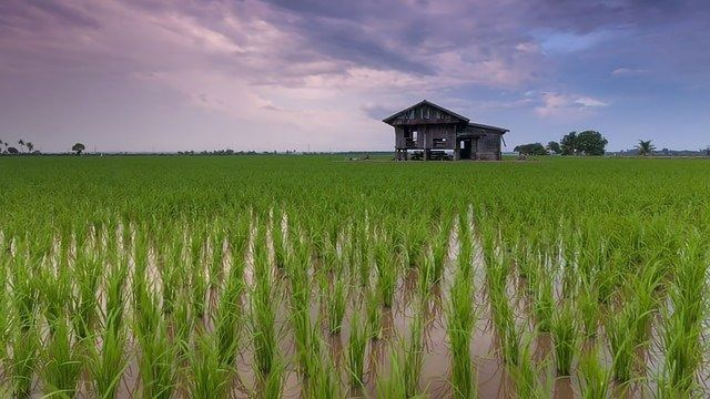 How Microbes Contribute to Harmful Methymercury in Rice
