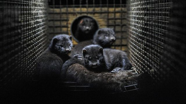 Scientific Community Awaits SARS-CoV-2 Genetic Data Behind Denmark's Decision To Cull Mink Population
