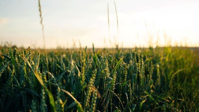 New Understanding of Circadian Rhythms Could Improve Crops