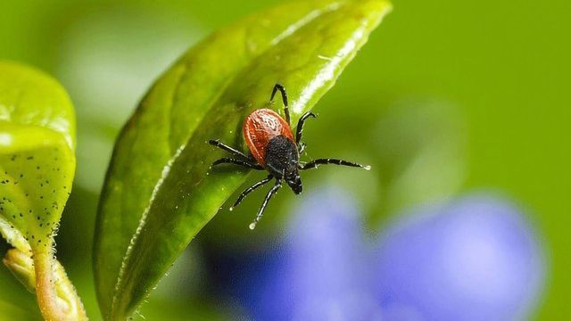 Protein That Protects Some Hosts From Lyme Disease Identified