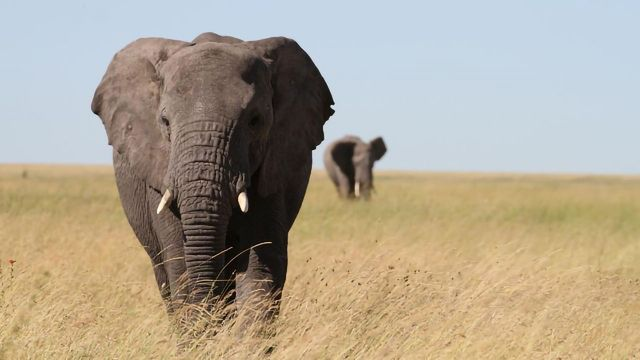 Large-Scale Study of Elephant Genetics Guides Conservation