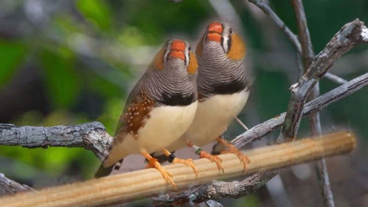 Zebra Finches Can Memorize the Songs of Up to 50 Flockmates
