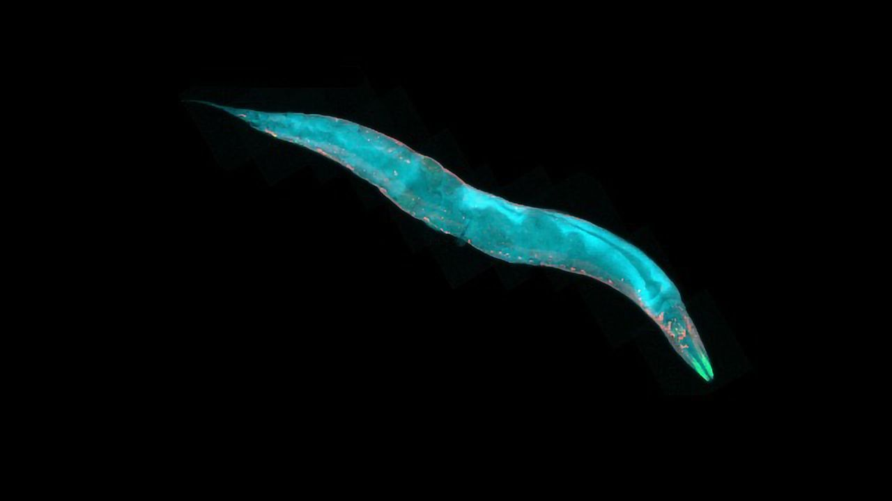 Old Worm, New Tricks: Old Brains Need Breaks To Maintain Flexibility