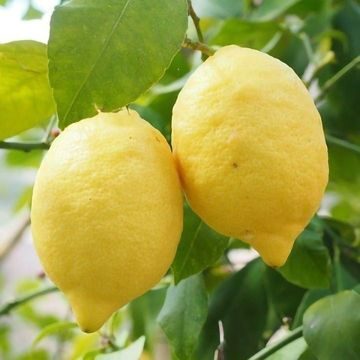 Protecting Rice, Kiwi and Citrus From Harmful Bacteria