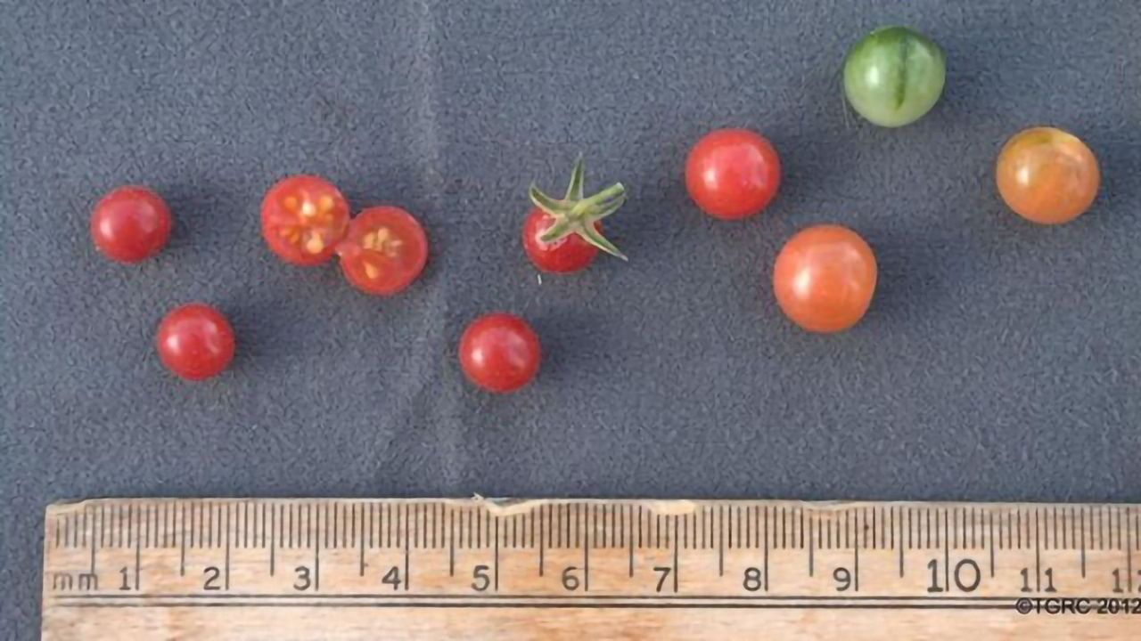 Bringing Back Tomato's Genetic Diversity That Was Lost in Domestication