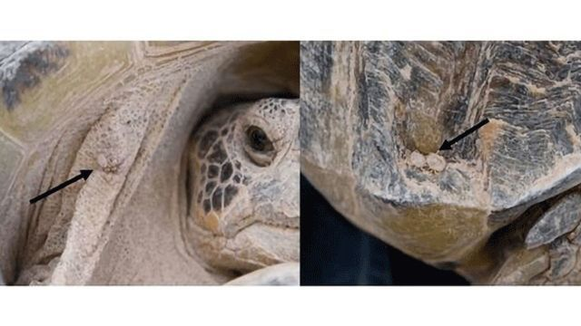 Bacteria Threatening Endangered Tortoise Identified