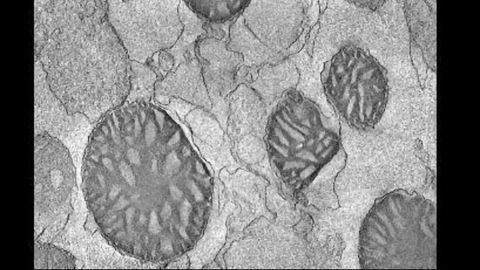High-Throughput Mitochondrial Transfer Device Developed