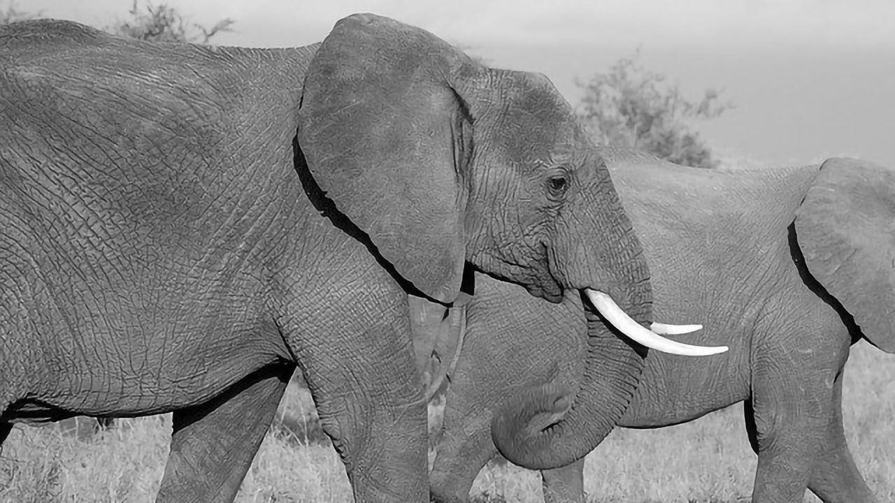 """Disguised"" Elephant Ivory Still Traded on eBay"