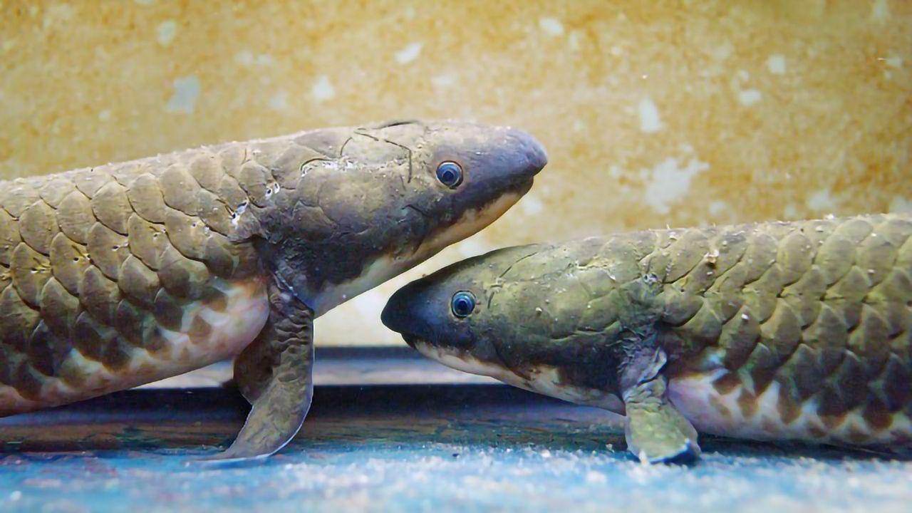 Lungfish Genome Reveals How Aquatic Vertebrates Conquered Land