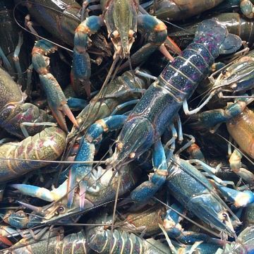 "Crawfish: ""THE NEXT BIG THING"" in the Aquaculture Industry Thanks to Breakthrough Technology"