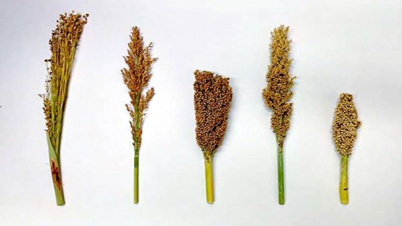 Early Breeding Reduced Harmful Mutations in Sorghum