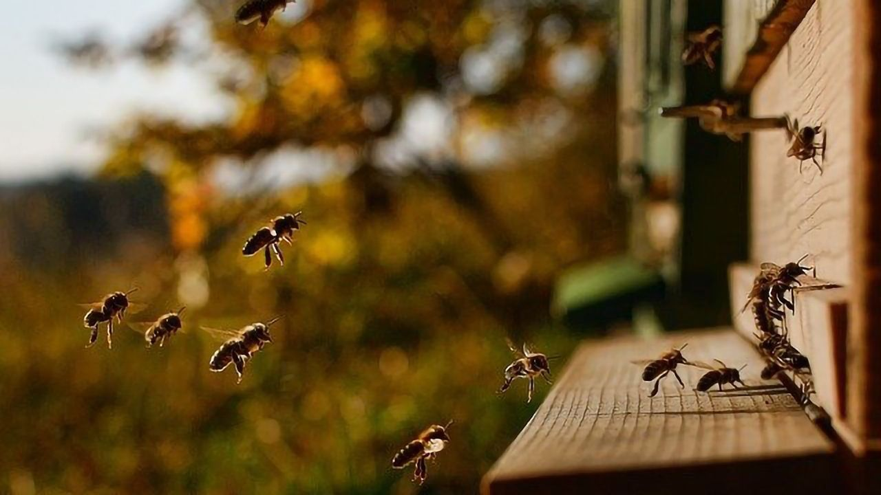 Key to Improving Honey Bee Pathogen Tolerance May Lay With Wild Relatives